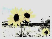 daisies black and yellow
