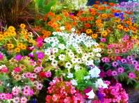 flowerbed colorful dream