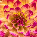 """""Sweetness"" Dahlia Flower"" by SoulfulPhotos"