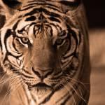 """""""Bengal Tiger"""" by artsimage"""