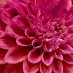 """""Splendid Days"" Dahlia Flower"" by SoulfulPhotos"