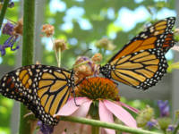Butterflies Monarch Butterfly nature art prints