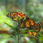 """""""Butterflies Monarch Butterfly nature art prints"""" by BasleeTroutman"""