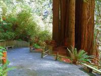 Walking With Giants - Redwood National Park