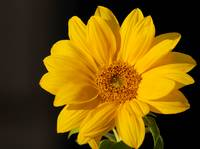 Yellow_Daisy