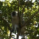 """Port Shepstone, KZN, South Africa - Vervet Monkey7"" by JonathanCJPhoto"