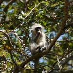 """Port Shepstone, KZN, South Africa - Vervet Monkey"" by JonathanCJPhoto"