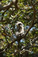 Port Shepstone, KZN, South Africa - Vervet Monkey