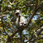 """Port Shepstone, KZN, South Africa-Vervet Monkey10"" by JonathanCJPhoto"