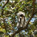 """Port Shepstone, KZN, South Africa-Vervet Monkey11"" by JonathanCJPhoto"