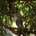 """Port Shepstone, KZN, South Africa - Vervet Monkey8"" by JonathanCJPhoto"