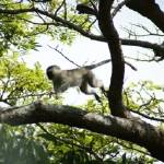 """Port Shepstone, KZN, South Africa - Vervet Monkey2"" by JonathanCJPhoto"