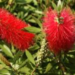 """South African Bottle Brush Plant 2"" by JonathanCJPhoto"