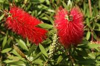 South African Bottle Brush Plant 2