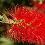 """South African Bottle Brush Plant"" by JonathanCJPhoto"
