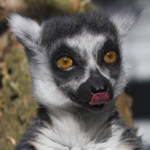 """Lemur Portrait PC1583"" by loversdream"