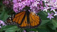 Monarch Close-up