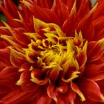 """""Flames"" Dahlia Flower"" by SoulfulPhotos"