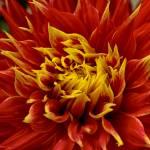 """""Flames"" Dahlia Flower"" by SoulfulPhotos"