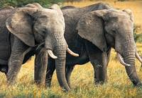 Elephants of the Masai Mara