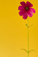 a pink cosmos in a yellow world