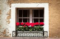 Geraniums in the Window