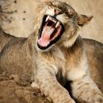 """Young African Lion"" by mjphoto-graphics"