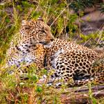 """Leopard on the watch"" by mjphoto-graphics"