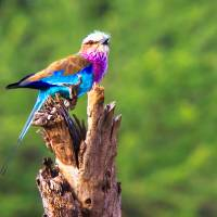 African Lilac-Breasted Roller Art Prints & Posters by Mark and Judy Coran