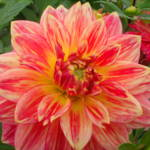 """Pink and Yellow Dahlia"" by StephanieBrower"