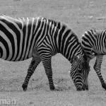 """""""zebras"""" by Wtgusillyho"""