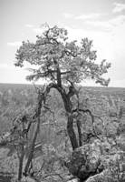 Grand Canyon Tree Study 1