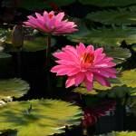 """Pink Tropical Water Lilies"" by LightHeart"