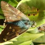 """Blue and Brown Moth on a Leaf"" by rhamm"