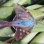 """Long Tailed Skipper Butterfly on a Leaf"" by rhamm"