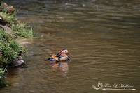 Mandarin Duck Male 20130508_314a