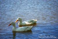 Pekin Ducks 20130515_15a