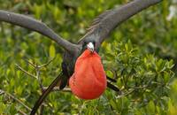 Male Magnificent Frigatebird