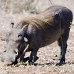 """Warthog Digging"" by pravine"
