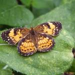 """Pearl Crescent Butterfly"" by hannahsview"