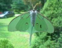Moon Moth on window
