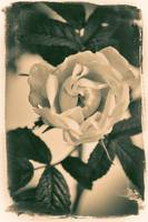 White Rose Lithograph