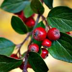 """Hawthorn Berries"" by KjWorthing"