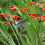 """Bill McAllen Hummingbird with Crocosmia_D701636"" by McallenPhotography"
