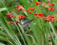 Bill McAllen Hummingbird with Crocosmia_D701636