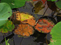 Autumn Lotus Leaves