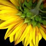 """C:\fakepath\16x20 sunflower"" by Brendapike"