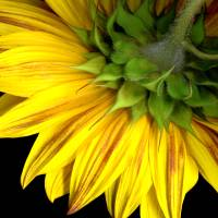 C:\fakepath\16x20 sunflower Art Prints & Posters by Brenda Pike