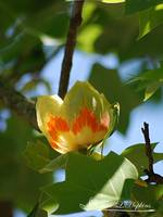 Tulip Tree Blossoms 20130515_255a