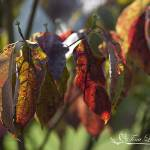 """Dogwood Leaves 20130829_102"" by Natureexploration"